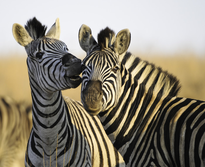 Portrait of zebras - stock photo
