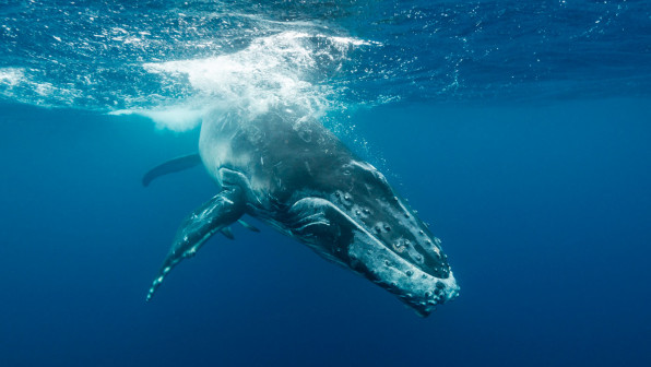 Humpback whale calf playing near the surface, Kingdom of Tonga. - stock photo