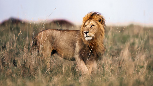 Male lion in Masai Mara wilderness. Copy space.