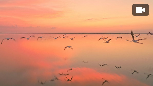Drone slow motion shot of flock of flamingos flying above the surface of the water at dusk.